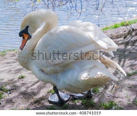 White swan on the coast at lake - stock photo