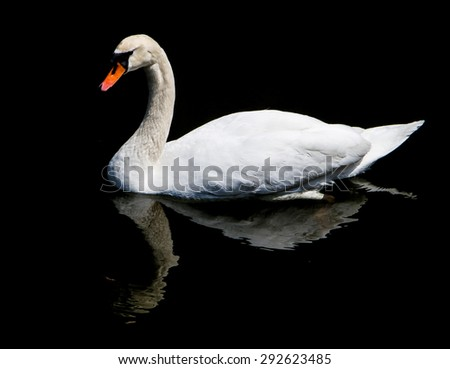 White swan reflected in the lake. - stock photo