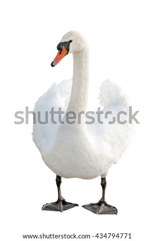 white swan standing, isolated on white background