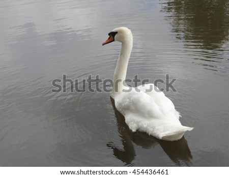 White swan swimming