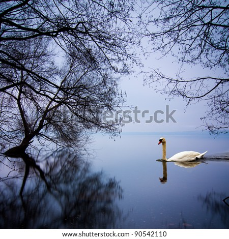White swan swimming gently in still lake water in blue light - stock photo