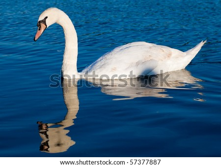 White swan swimming in a clear blue lake
