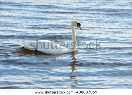 White swan swimming in blue lake water - stock photo