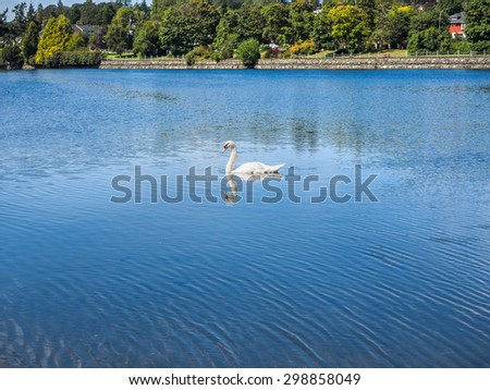 White swan swimming in the urban environment