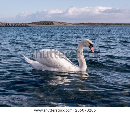 White swan swimming in wavy blue water with the shore and skies in the background