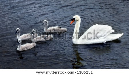 White swan with four chicks on a Scottish lake - stock photo