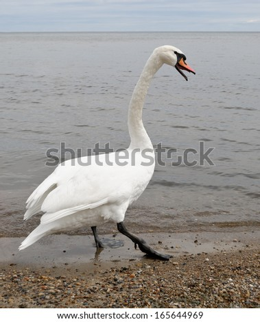 White swan with open beak imposingly walks along the shore - stock photo