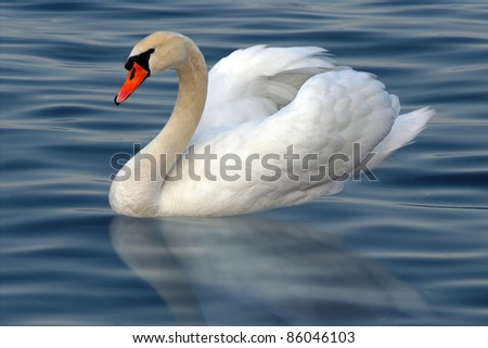 White swan with reflection on water - stock photo
