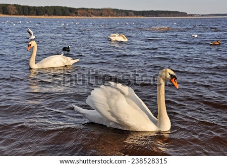 white swans in love