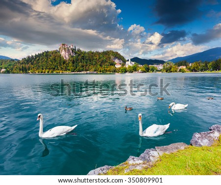 White swans in summer sunny day on Bled Lake, Bledsky lake. Julian Alpine. Slovenia.  - stock photo