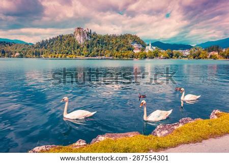 White swans in summer sunny day on Bled Lake, Bledsky lake. Julian Alpine. Slovenia. Instagram toning. - stock photo