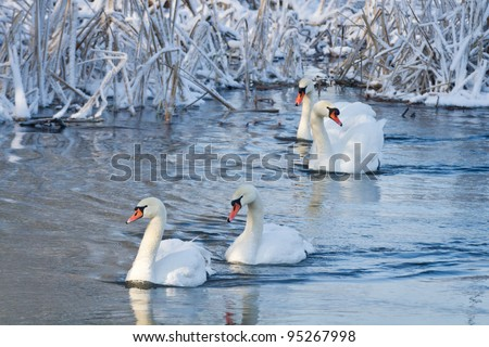 White swans in the river at winter - stock photo