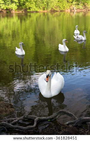 White swans on blue lake water in sunny day, swans on pond - stock photo