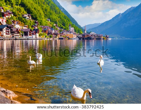 White swans on the lake Hallstatter See. Sunny morning on the pier of Hallstatt village in the Austrian Alps. - stock photo