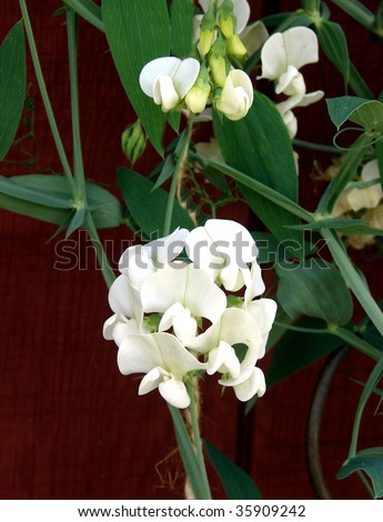 White sweet pea flowers stock photo royalty free 35909242 white sweet pea flowers mightylinksfo