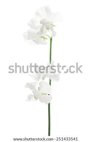 White sweet pea isolated on white background  - stock photo