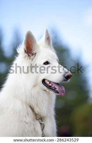White Swiss Sheepdog is sitting on nature background
