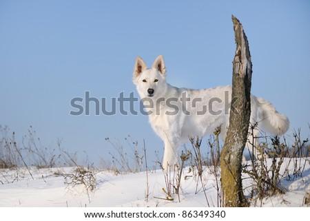 White Swiss Shepherd - stock photo