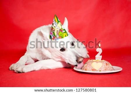 White Swiss Shepherd birthday cake - stock photo
