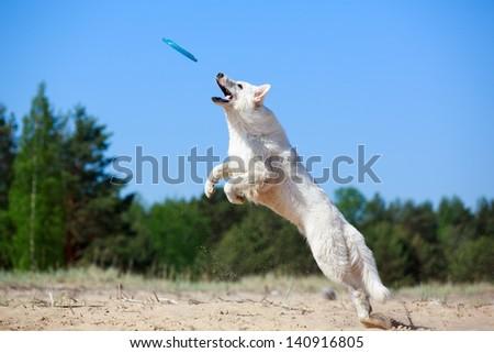 White Swiss Shepherd Dog - stock photo