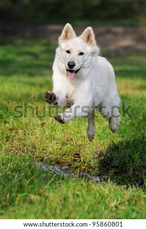 White Swiss Shepherd dog jumps over the meadow