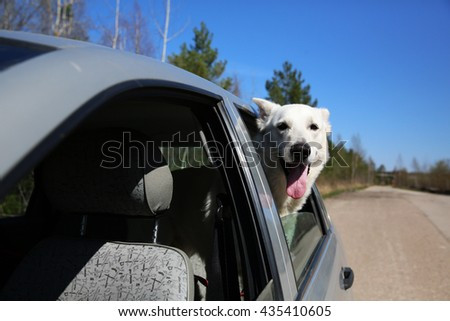 White Swiss shepherd dog looking out of car window