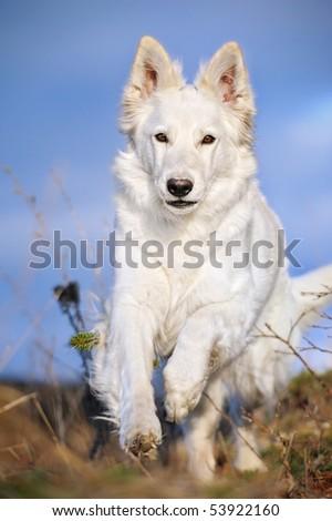 WHITE SWISS SHEPHERD DOG  Weisser Schweizer Schaeferhund  Berger Blanc Suisse running - stock photo