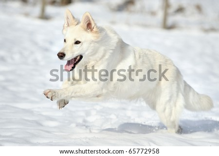 White Swiss Shepherd jumps in the snow - stock photo