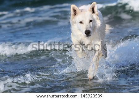 White Swiss Shepherd on the ocean  - stock photo