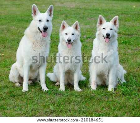 White Swiss Shepherd portrait  - stock photo