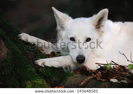 White Swiss Shepherd portrait in the forest on the tree with moss - stock photo