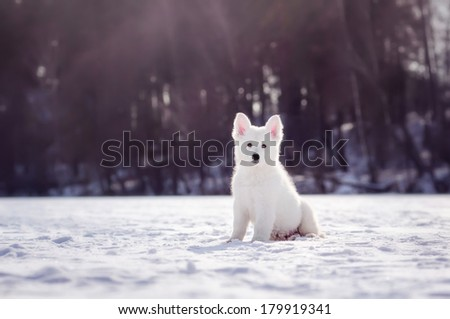 White Swiss Shepherd puppy sitting in the snow, winter - stock photo