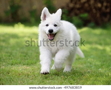 White Swiss Shepherd puppy 10 weeks happy running