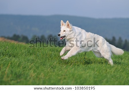 White Swiss Shepherd runs - stock photo