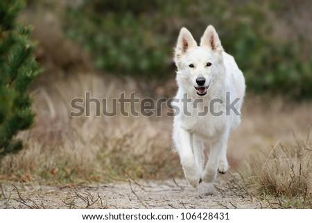 White Swiss Shepherd runs in the forest on the ocean - stock photo