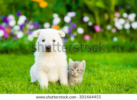 White Swiss Shepherd`s puppy and kitten sitting together on green grass, - stock photo