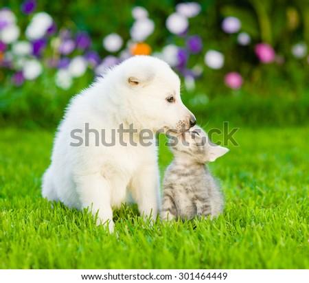 White Swiss Shepherd`s puppy kissing kitten on green grass - stock photo