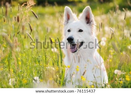 White Swiss Shepherd sits in meadow Berger Blanc Suisse Weisser Schweizer Schäferhund Berger Blanc Suisse - stock photo