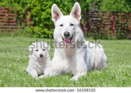 White Swiss Shepherds laying on green grass - stock photo