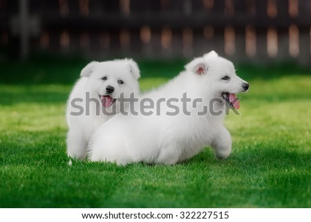 White Swiss Shepherds puppyin outdoore and green glass - stock photo