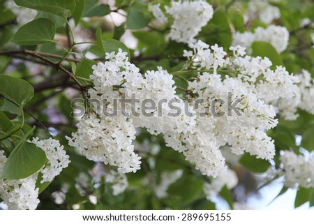 White Syringa Vulgaris blossoming  - stock photo