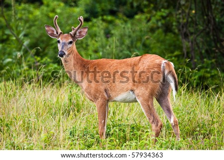 White Tail Buck Deer In Grassy Field