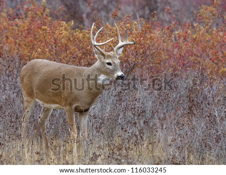 White Tail Buck Deer stag in autumn landscape, fall colors; midwest midwestern big game deer hunting season - stock photo