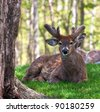 White tail buck in velvet,  lying in the shade.  Springtime in Wisconsin - stock photo