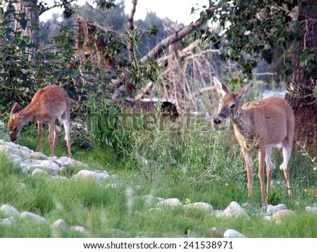 White Tail Deer and Fawn - stock photo