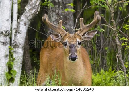 white tail deer buck with velvet antlers - stock photo