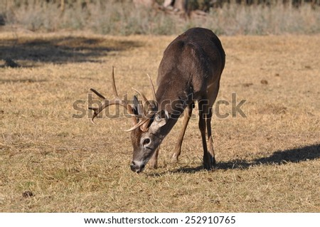 White Tail deer eating grass in winter on Colorado plains - stock photo