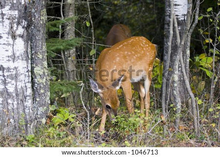 White tail deer fawn - stock photo