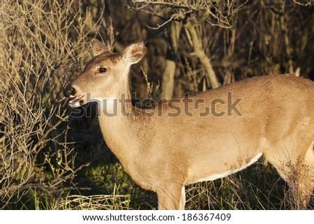 White tail deer grazing. - stock photo