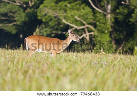 white tail deer shot in the spring grazing on grass